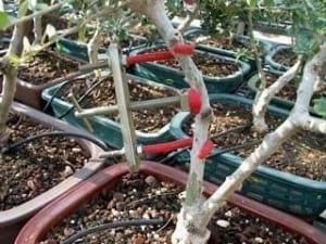 הדגמת שימוש מכופף ענפים לבונסאי