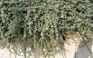 צמחים 240