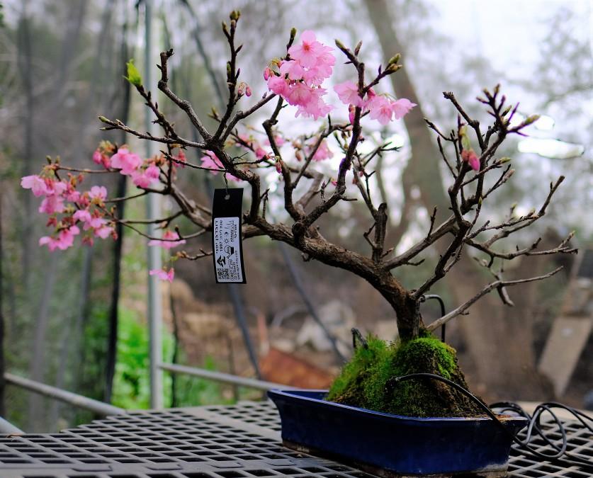 בונסאי דובדבן יפני בפריחה